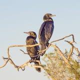 Little Black Cormorants Stock Photo