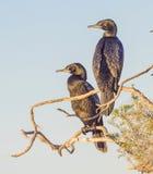 Little Black Cormorants Stock Images