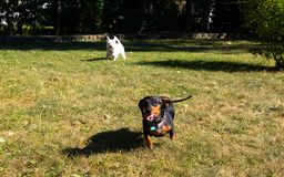 Little black dachshund and west highland white terrier playing o stock images