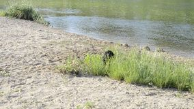 Little black dog barks on the river bank. And wants to go swimming for aport stock footage