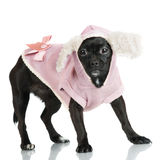 Little black dog in clothes Royalty Free Stock Photo
