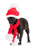 Little black dog in clothes Stock Photography