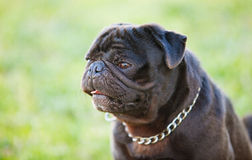 Little black dog in the park Stock Photography