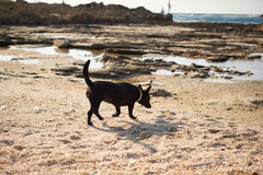 Little black dog  on the sea beach Royalty Free Stock Photos