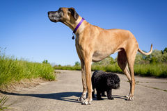 Little black dog standing under great Dane Stock Photography