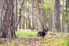 Dog walks in forest Stock Images