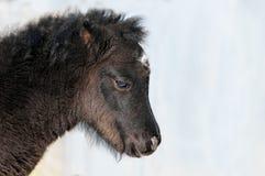 Little black foal of pony sad Royalty Free Stock Image