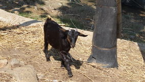 Little black goat begging for food in a farm. It is tied to a tree and looks piteous Royalty Free Stock Photo