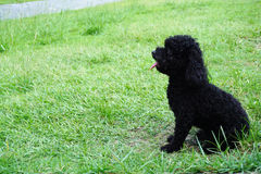 Little black hair poodle dog. Sitting on the grass Stock Photography