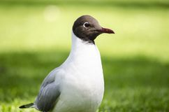 Black headed gull  on grass. A little black headed gull walking on the grass in the garden in a nice, sunny day royalty free stock photos
