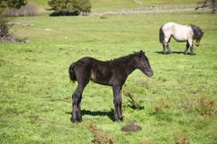 Little black horse Stock Photo