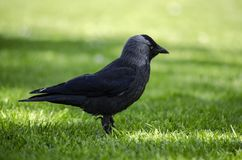 Jackdaw on grass stock images