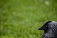 Portrait of a Jackdaw on grass royalty free stock photos
