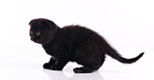 Little black kitten Royalty Free Stock Photo