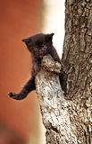 Little black kitten. Playing on a branch of a tree Stock Images
