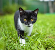 Little black kitten in a grass royalty free stock images