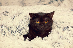 Little black kitten peeking out from under the blanket Royalty Free Stock Photography
