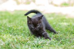 Little black kitten plays and runs in the grass. The concept of pets, farm