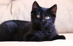 Little black kitten three months with big yellow eyes lying on a beige couch. And looking away, photograph in pastel colors,  cat, black, portrait,  looks into Royalty Free Stock Images