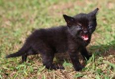 Black kitten meowing. Little black kitten walking in grass and meowing Royalty Free Stock Photo