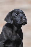 Little black labrador puppy Royalty Free Stock Photography