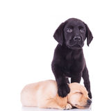 Little black labrador standing with paw on sleeping puppy`s head Stock Photo