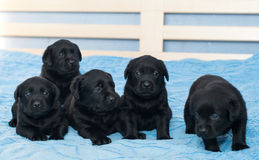 Little black Labradors. In bed Stock Image