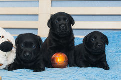 Little black Labradors Royalty Free Stock Image