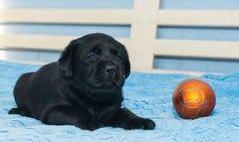 Little black Labradors. In bed Stock Photos