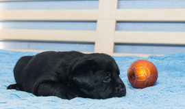 Little black Labradors Stock Photography