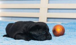 Little black Labradors Stock Photography