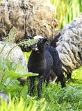 Little black lamb grazing on a lush  meadow Royalty Free Stock Photography