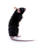 Little black mouse stock photo