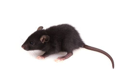 Little Black Mouse on a White Background Royalty Free Stock Photos