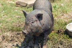 Little black pig close-up, farm. Vietnamese pig, portrait. Stock Photo