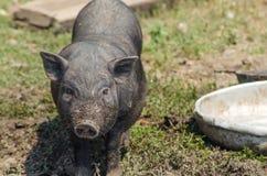 Little black pig close-up, farm. Vietnamese pig, portrait. Royalty Free Stock Photography