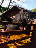 Little black pig in a decorative wooden pen.  Royalty Free Stock Images