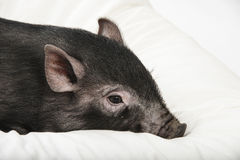 Little black pig lie on a pillow. A cute little black pig lie on a pillow stock photography