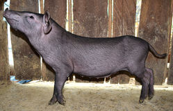 Little black pig is look side view Royalty Free Stock Images