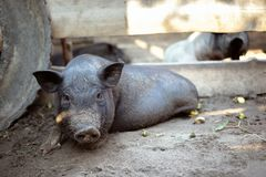 A little black pig is lying on the ground Stock Image