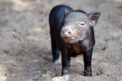 Little black piglet. Playing in the garden Royalty Free Stock Photo