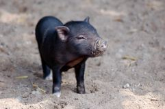 Little black piglet. Playing in the garden Stock Photo