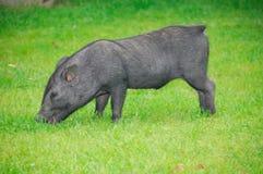 Little black piglet. On grenn grass background royalty free stock images