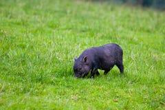 Little black piglet Stock Images