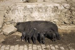 Little black pigs eating on the street. Yuanyang, Yunnan, China Royalty Free Stock Image