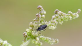 Little black mirid bug sitting on nettle royalty free stock photos
