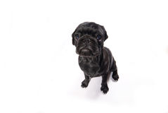 Little black pug Stock Photography