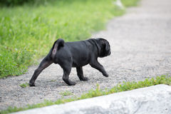 Little black pug puppy Stock Photos