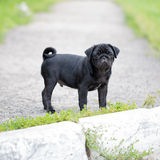 Little black pug puppy Stock Image