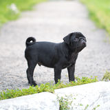 Little black pug puppy Stock Images